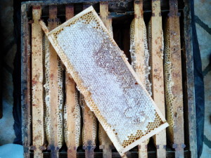 honey extracting 3