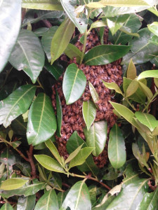 honeybee swarm collecting