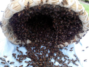 honeybee_swarm_collecting_4