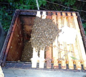 honeybee_swarm_collecting_6